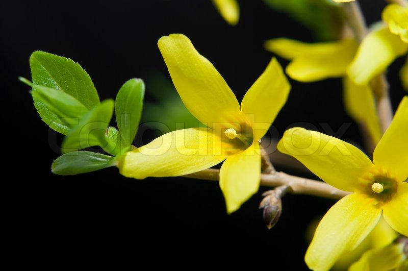 Spring yellow flowers of common forsythia in blossom on blac spring yellow flowers of common forsythia in blossom on blac background stock photo colourbox mightylinksfo