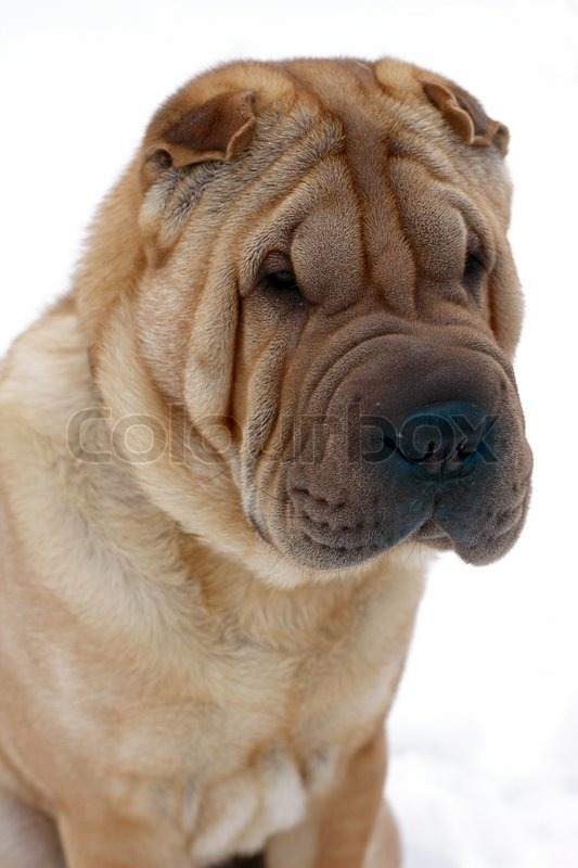 How Big To Shar Pei Dogs Get