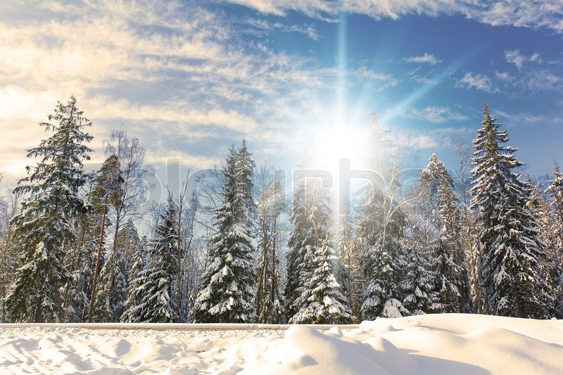Spruce trees covered by snow on a sunny winter day | Stock Photo ...