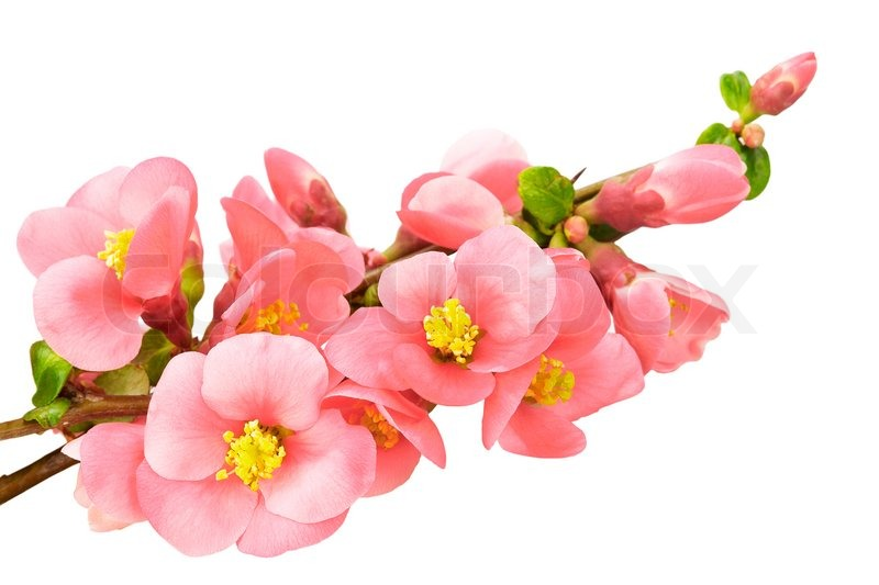 Gentle pink flowers isolated on white background stock photo gentle pink flowers isolated on white background stock photo colourbox mightylinksfo