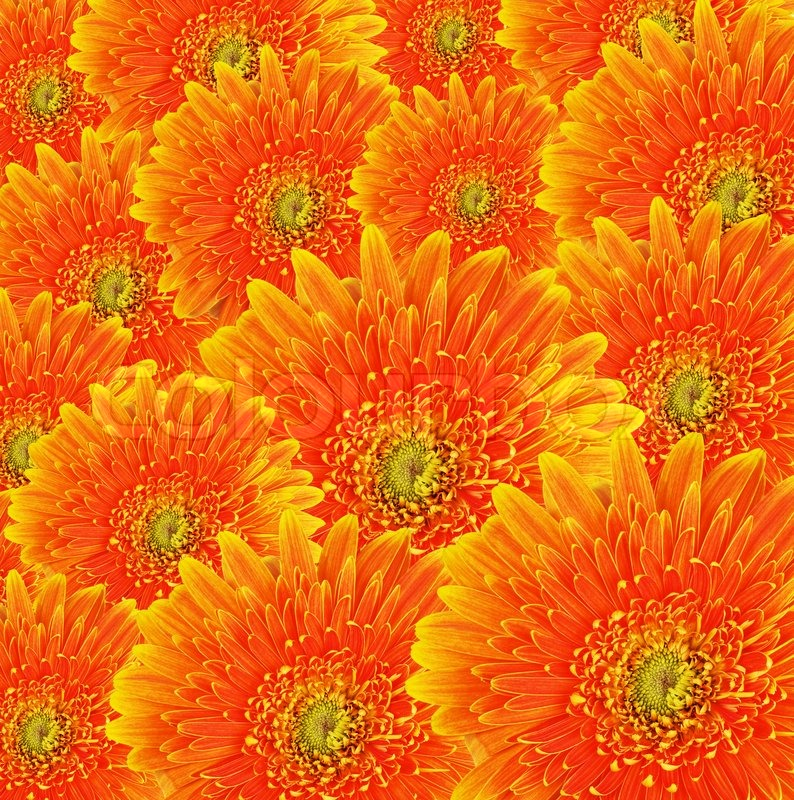 Orange Gerbera Flowers Background