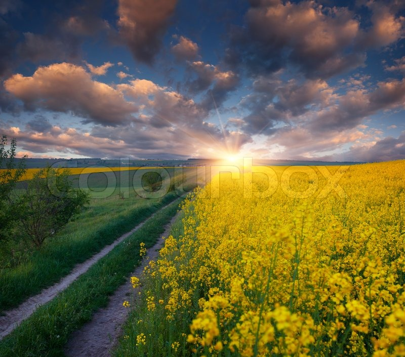 beautiful yellow field landscape - photo #43