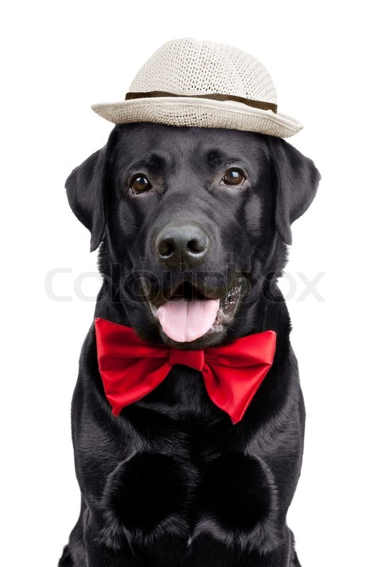 Black Labrador with a hat and tie  397df4d86a8