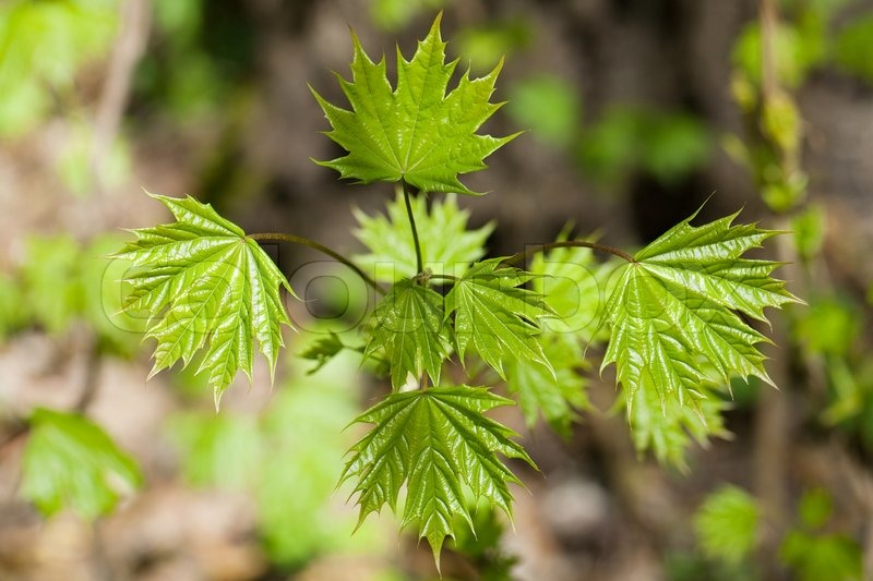 Young Maple Bush With Fresh Leaves Stock Photo Colourbox
