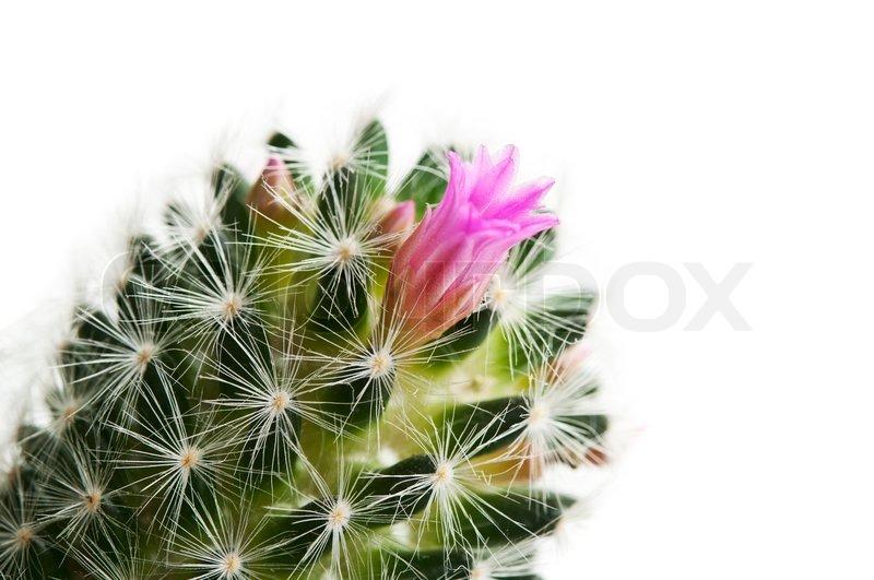 kaktus mit bl te stockfoto colourbox. Black Bedroom Furniture Sets. Home Design Ideas