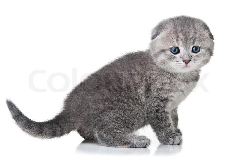 British lop eared cat