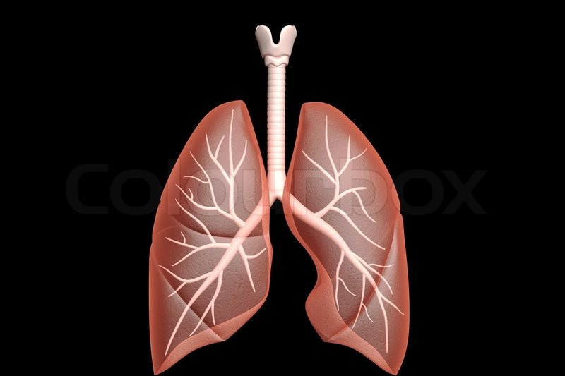 Human lungs | Stock Photo | Colourbox