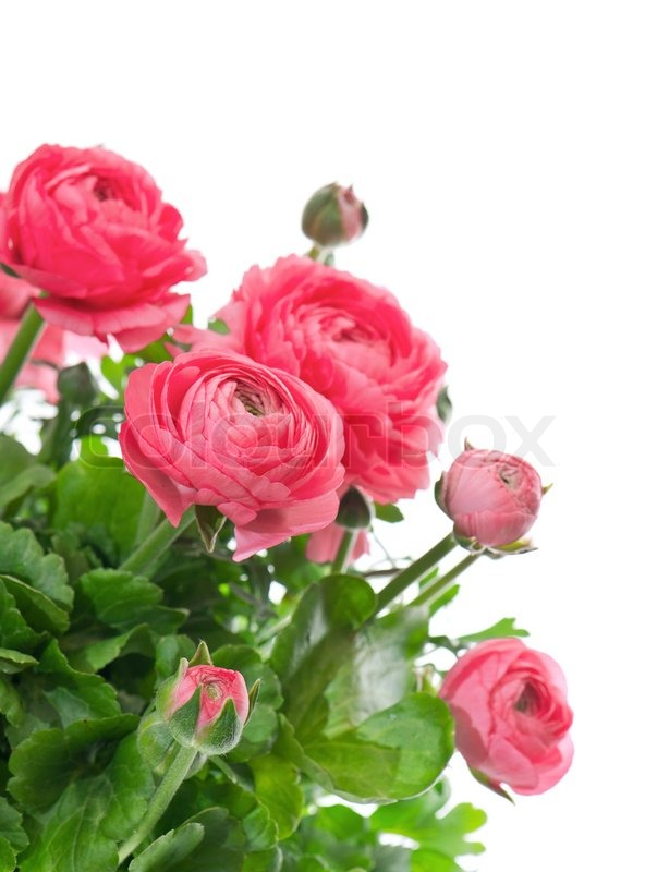 Beautiful bouquet of spring flowers pink ranunculus stock photo beautiful bouquet of spring flowers pink ranunculus stock photo mightylinksfo Images