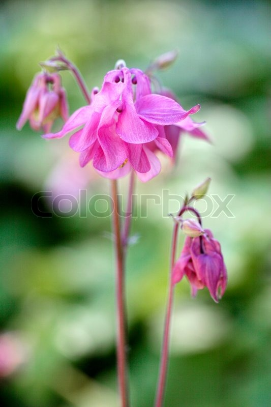 nahaufnahme von eleganten rosa aquilegia vulgaris stockfoto colourbox. Black Bedroom Furniture Sets. Home Design Ideas