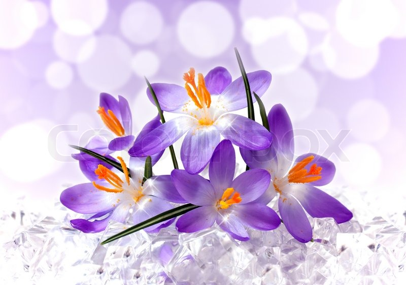 Violet Flower Picture on Violet Flowers Of A Crocus In Ice Stock Photo