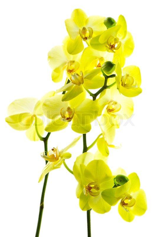 Beautiful yellow orchid flower on white stock photo colourbox mightylinksfo