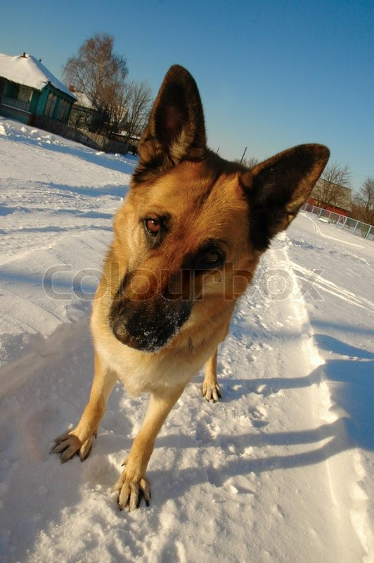 Stock image of 'Funny german shepherd dog standing on the snow'