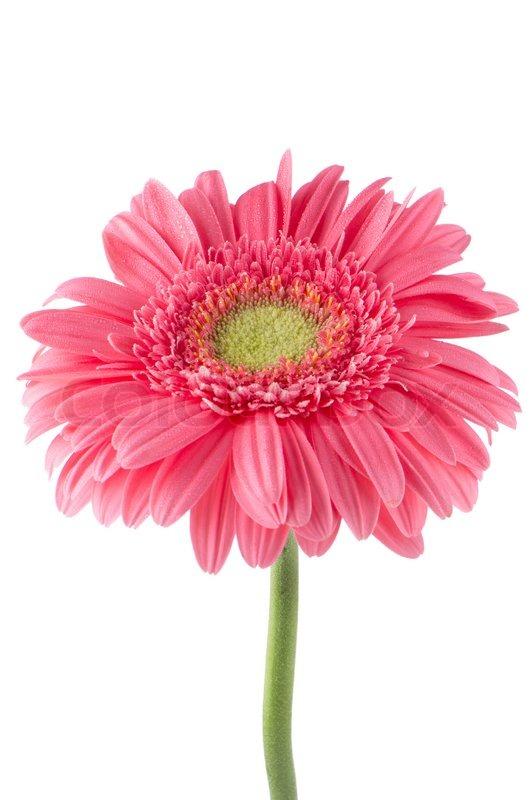 Pink gerbera daisy flower stock photo colourbox mightylinksfo