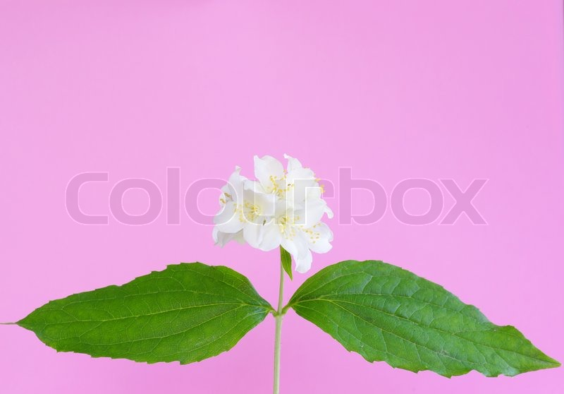 Stock image of 'Jasmine flower'