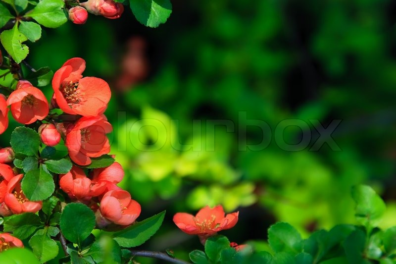 Blossoms japanese quince. Natural frame | Stock Photo | Colourbox