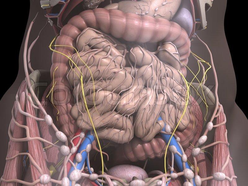 The internal organs | Stock Photo | Colourbox