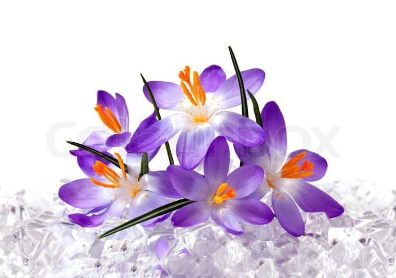 Crocus Flowers In Ice Stock Image Colourbox