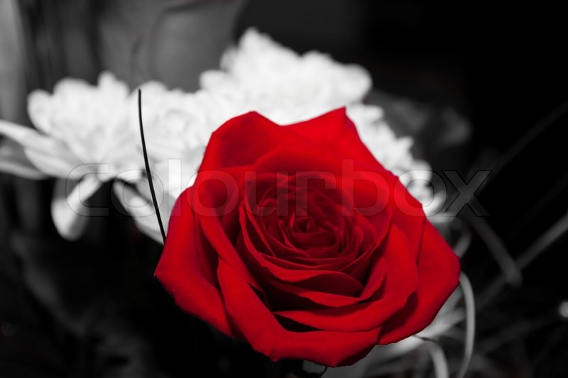 Black And White Photography Red Rose