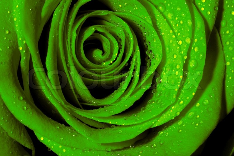 Green rose stock photo colourbox for Green colour rose images