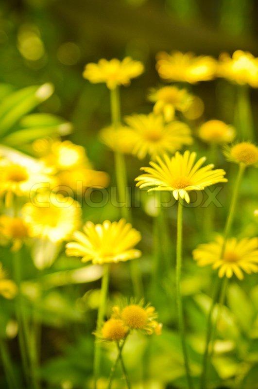 Beautiful yellow flowers stock photo colourbox mightylinksfo