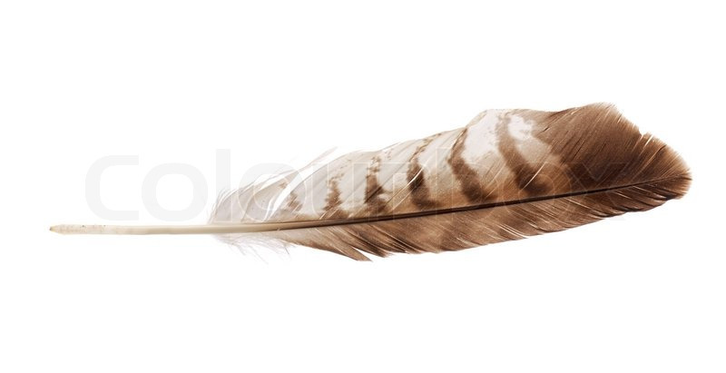 Feather From Bird Of Prey Buzzard Stock Image Colourbox