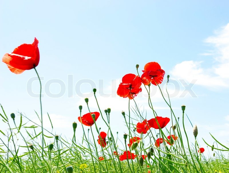 Stock image of 'Poppy red'