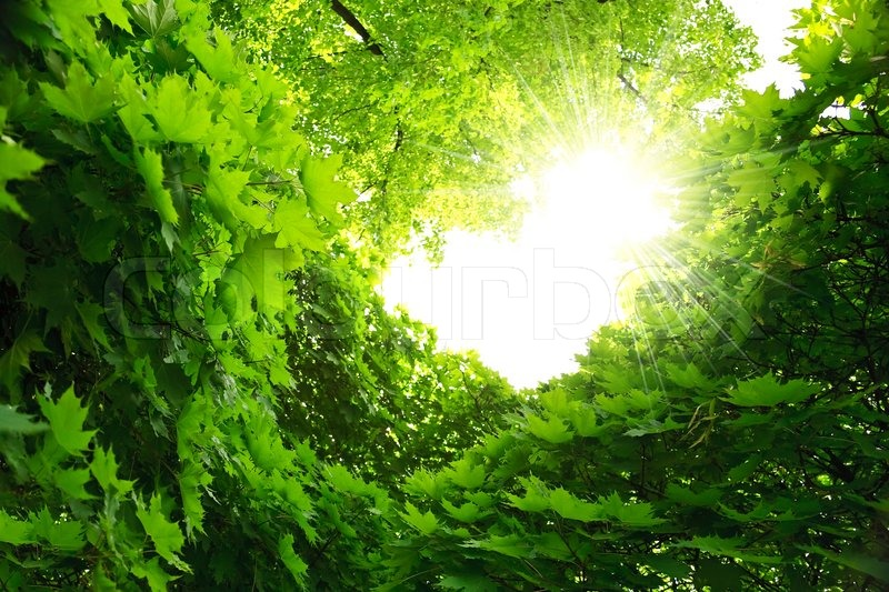 Rise Credit >> Lush green foliage of maple. Natural frame | Stock Photo ...