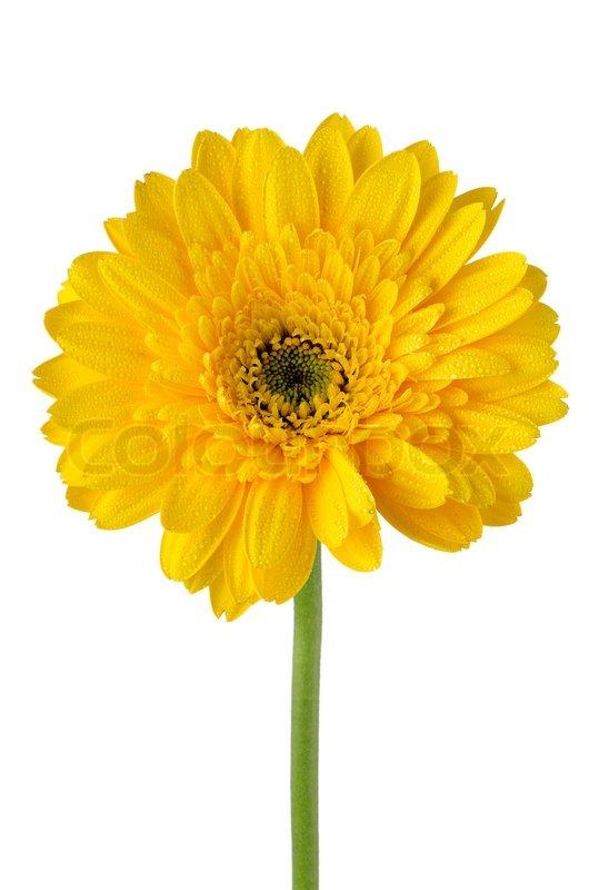 yellow gerbera daisy flower  stock photo  colourbox, Beautiful flower