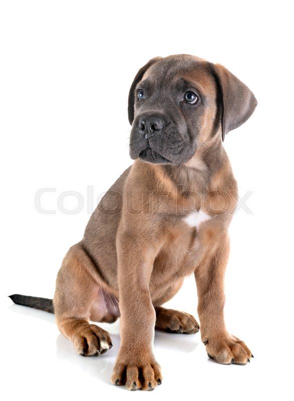 Puppy Italian Mastiff In Front Of White