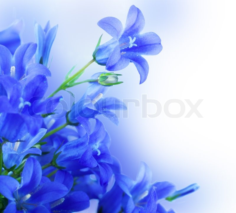 flowers on a white background dark blue hand bells