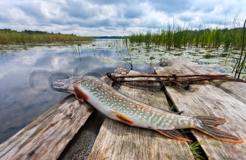 Raw, fresh fish pike on the background of the lake | Stock Photo ...