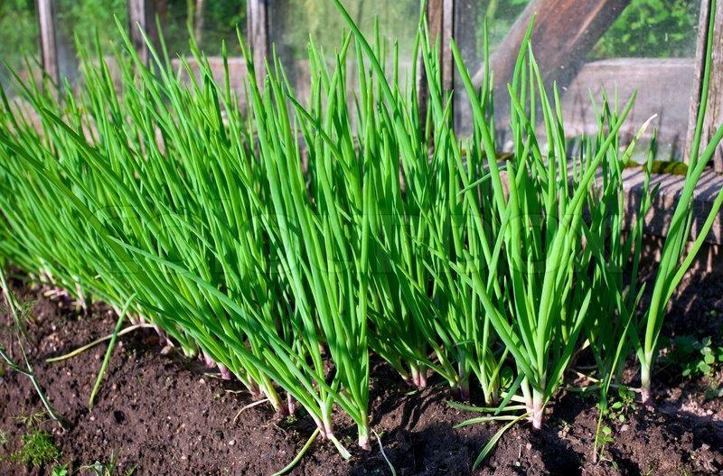 Onion Plantation In The Vegetable Garden Stock Photo