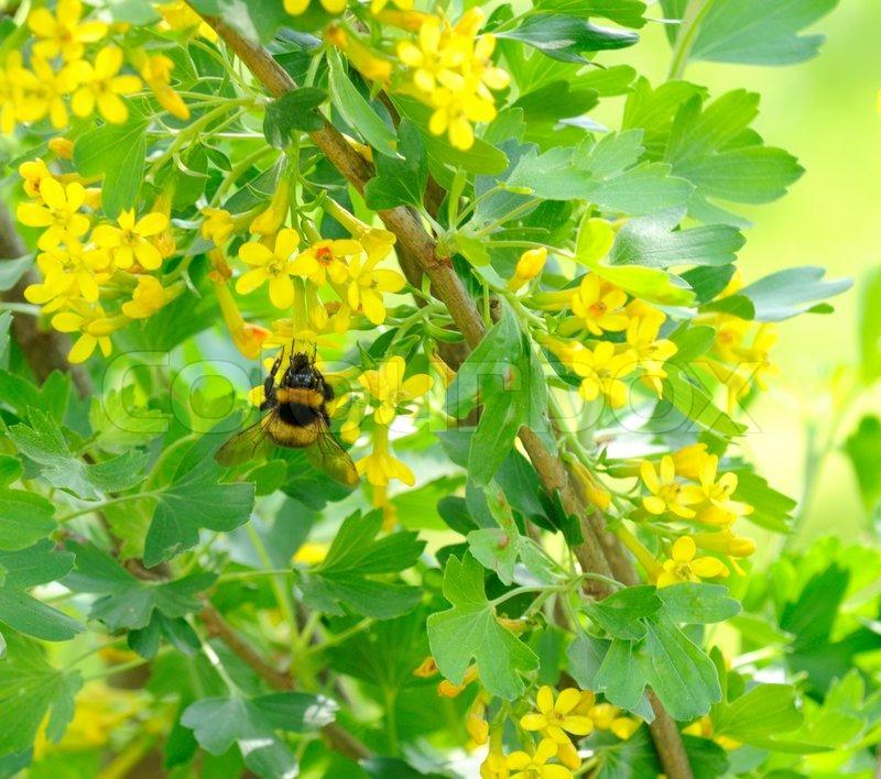 hummel jostabeere busch mit gelben stockfoto colourbox. Black Bedroom Furniture Sets. Home Design Ideas