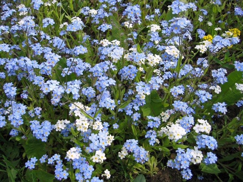 Closeup of blue and white forget me not flowers stock photo closeup of blue and white forget me not flowers stock photo colourbox mightylinksfo