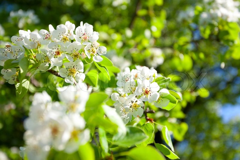 Stock image of a blooming branch of apple tree in spring