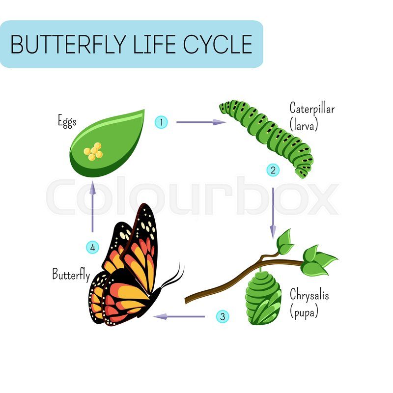 Life Cycle Of Butterfl Eggs Stock Vector Colourbox