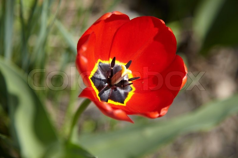 Tulip Flower Picture on Stock Image Of  Red Tulip Flower
