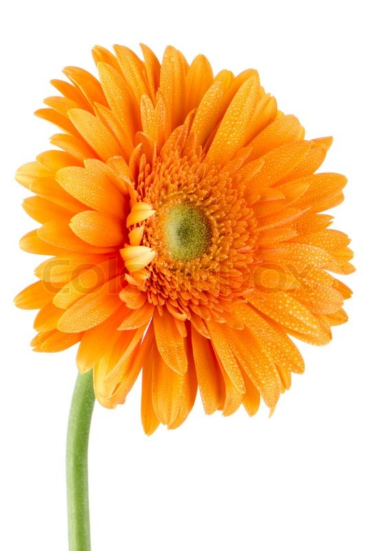 Picture Daisy Flower on Stock Image Of  Orange Gerbera Daisy Flower