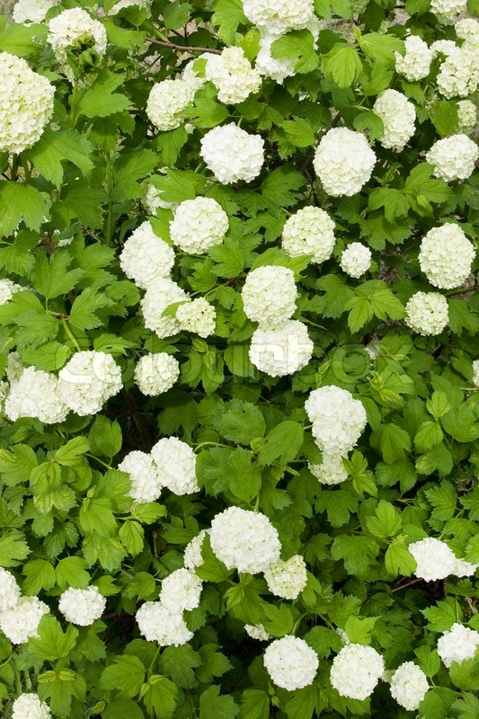 Green shrub with white flowers stock photo colourbox mightylinksfo