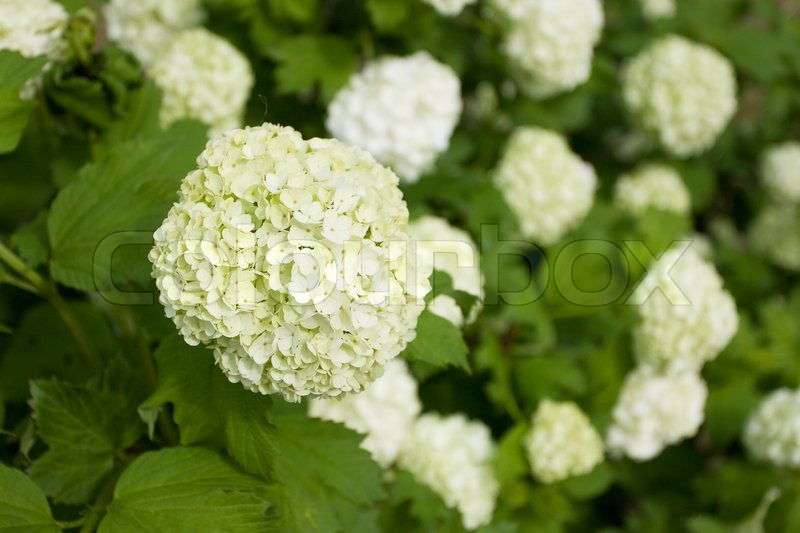 Large white flowers on a green bush stock photo colourbox mightylinksfo