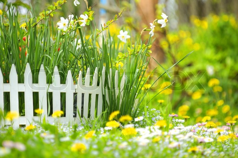 Flower Bed With Narcissuses And Decorative White Fence