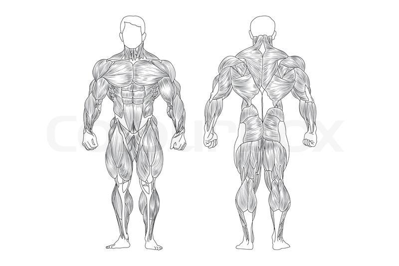 Männliche Muskeln | Vektorgrafik | Colourbox