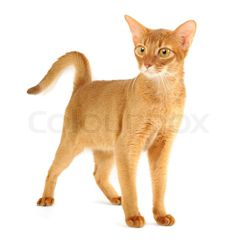 Abyssinian cat | Stock image | Colourbox
