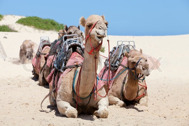 Caravan of camels have a rest | Stock image | Colourbox
