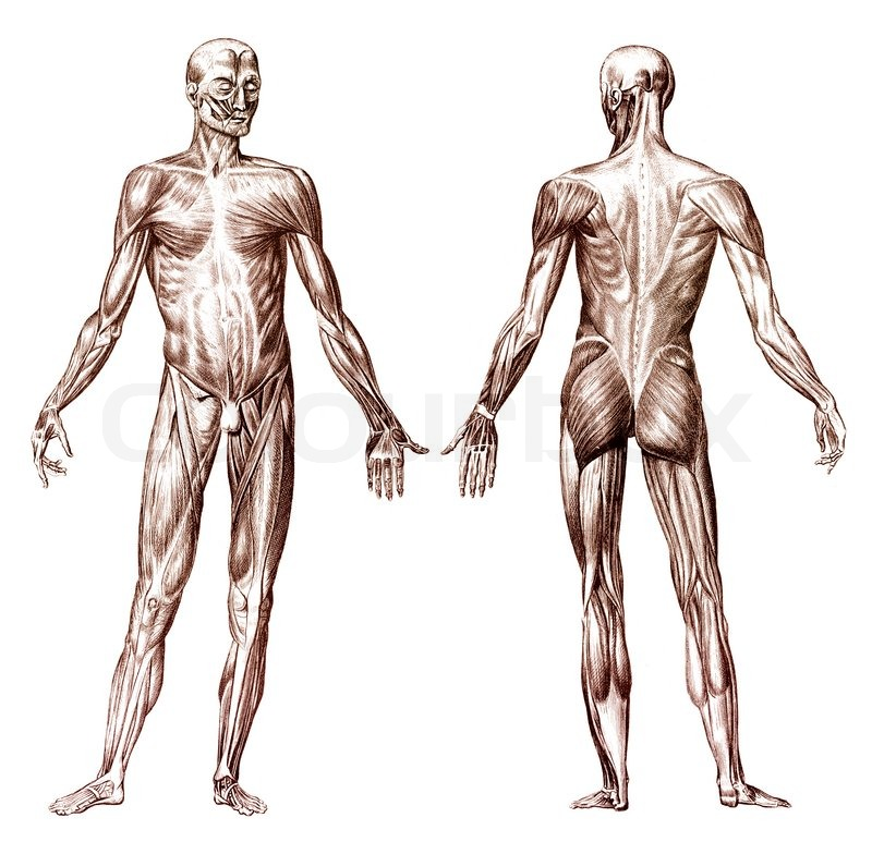 Human Muscular System Stock Photo Colourbox
