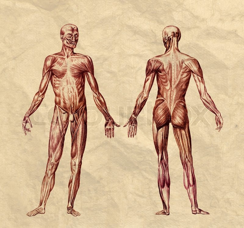 Human Muscular System Engraving Printed On Old Paper Stock Photo