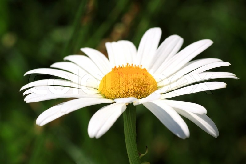 close up white daisy flower  stock photo  colourbox, Beautiful flower