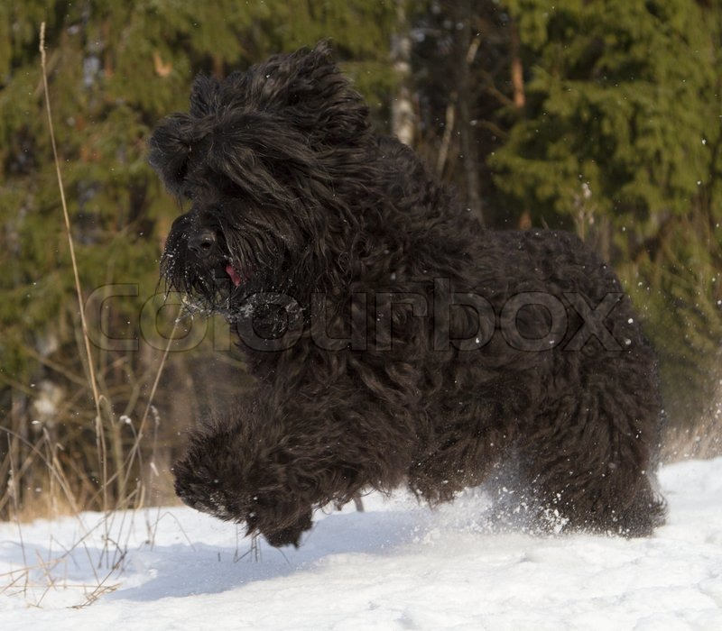Black Russian Terrier Attack Dog