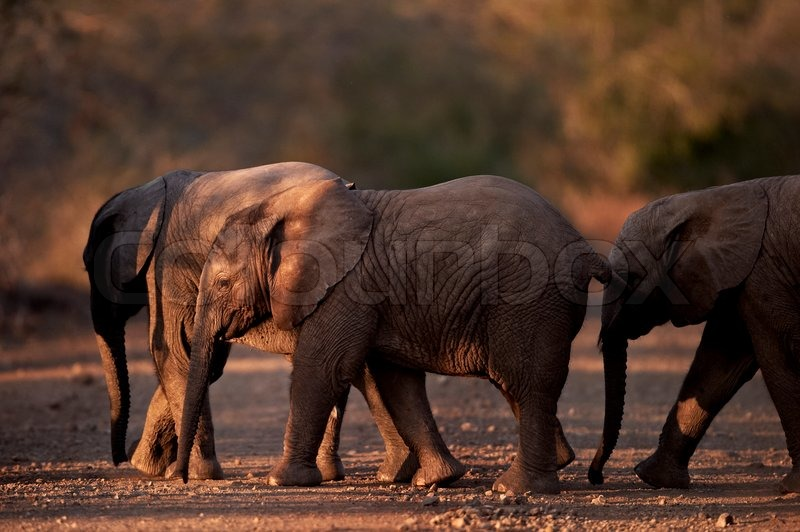 Three small baby african elephants crossing the road at dusk, stock photo