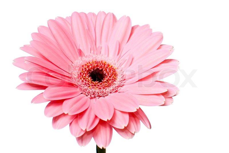Pink gerbera daisy flower on a white background stock photo pink gerbera daisy flower on a white background stock photo mightylinksfo Choice Image